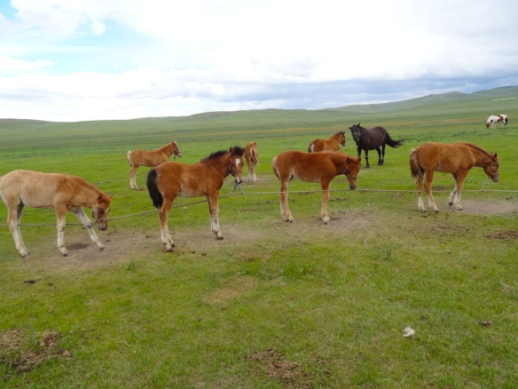 preparing foal for milking mares Mongolia
